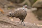 Pheasant, Grey Peacock (male) @ Mae Wong