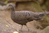 Pheasant, Grey Peacock (female) @ Mae Wong