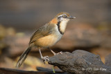 Laughingthrush, Lesser Necklaced @ Kaeng Krachan