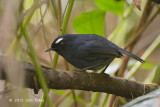 Shortwing, White-browed (male) @ Summit Trail