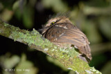 Frogmouth, Short-tailed @ Summit Trail