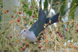 Pigeon, Green Imperial @ Loyang Lane