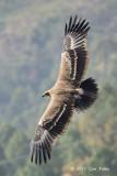Eagle, Steppe @ Nainital