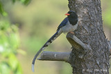 Magpie, Red-billed Blue @ Pangot