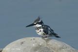 Kingfisher, Pied (male) @ Dhikala