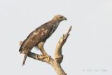 Eagle, Changeable Hawk (pale morph) @ Choa Chu Kang