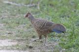 Pheasant, Kalij (female hamiltoni) @ Corbett