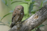 Owlet, Asian Barred @ Kaziranga