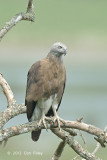 Eagle, Grey-headed Fish @ Kaziranga