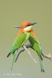 Bee-eater, Chestnut-headed @ Kaziranga