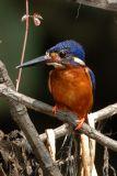 Kingfisher, Blue-eared @ Menanggol River