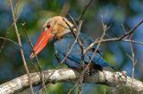 Kingfisher, Stork-billed @ Menanggol River