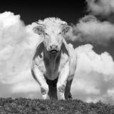 Cow ( Charolais)
