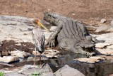 Croc and yellow-billed stork