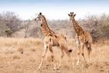 Baby_girafs