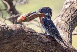 Giant kingfisher and giant fish....