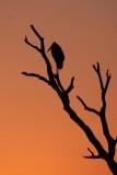 Maraboe stork