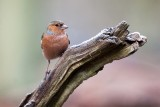 Common Chaffinch  /   Vink