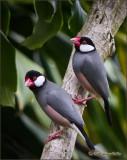 Java Rice Birds