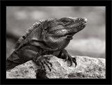 Del Rey Iguana One (BW)