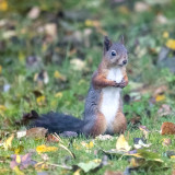 Squirrel lunch break while removing rock-wool from my neighbors house to make a winter residence