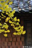 Ginkgo biloba leaves DSC_1915