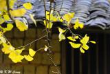 Ginkgo biloba leaves DSC_1911