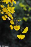 Ginkgo biloba leaves DSC_1931