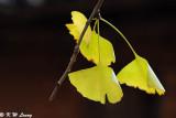 Ginkgo biloba leaves DSC_2184