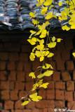 Ginkgo biloba leaves DSC_1914