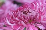 Chrysanthemum (菊花)
