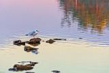 Gull On The Rocks 29758