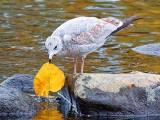 Gull With Autumn Leaf 28348