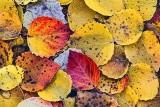 Spotted Autumn Leaves 30091