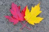 Autumn Leaves 29899-900