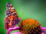 Butterfly On A Coneflower 27811