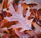 Frosty Oak Leaves 20121106