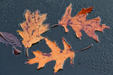 Floating Leaves 31793
