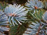 Wet Pine Needles 20121217