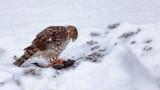 Hawk With A Kill 20121223