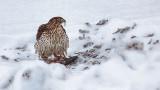Hawk With A Kill 28388