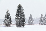Pines In Snowstorm 32566