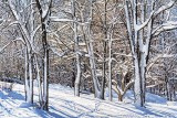 Snowy Trees 20130102