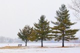 Three Pines In Snowstorm 20130128