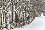 Winter Trees 33917
