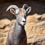 Bighorn Sheep Posing 75765