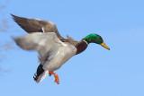 Duck In Flight 34089