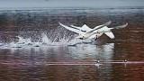Swans Taking Flight 28726