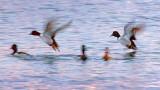 Ring-necked Ducks Taking Flight 20130328