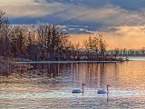 Swans At Sunset 28802